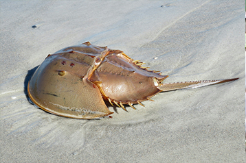 Biotech can save the Horseshoe Crab – video featuring Ding Jeak Ling