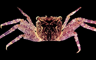 New species of tree-spider crab found in Kerala