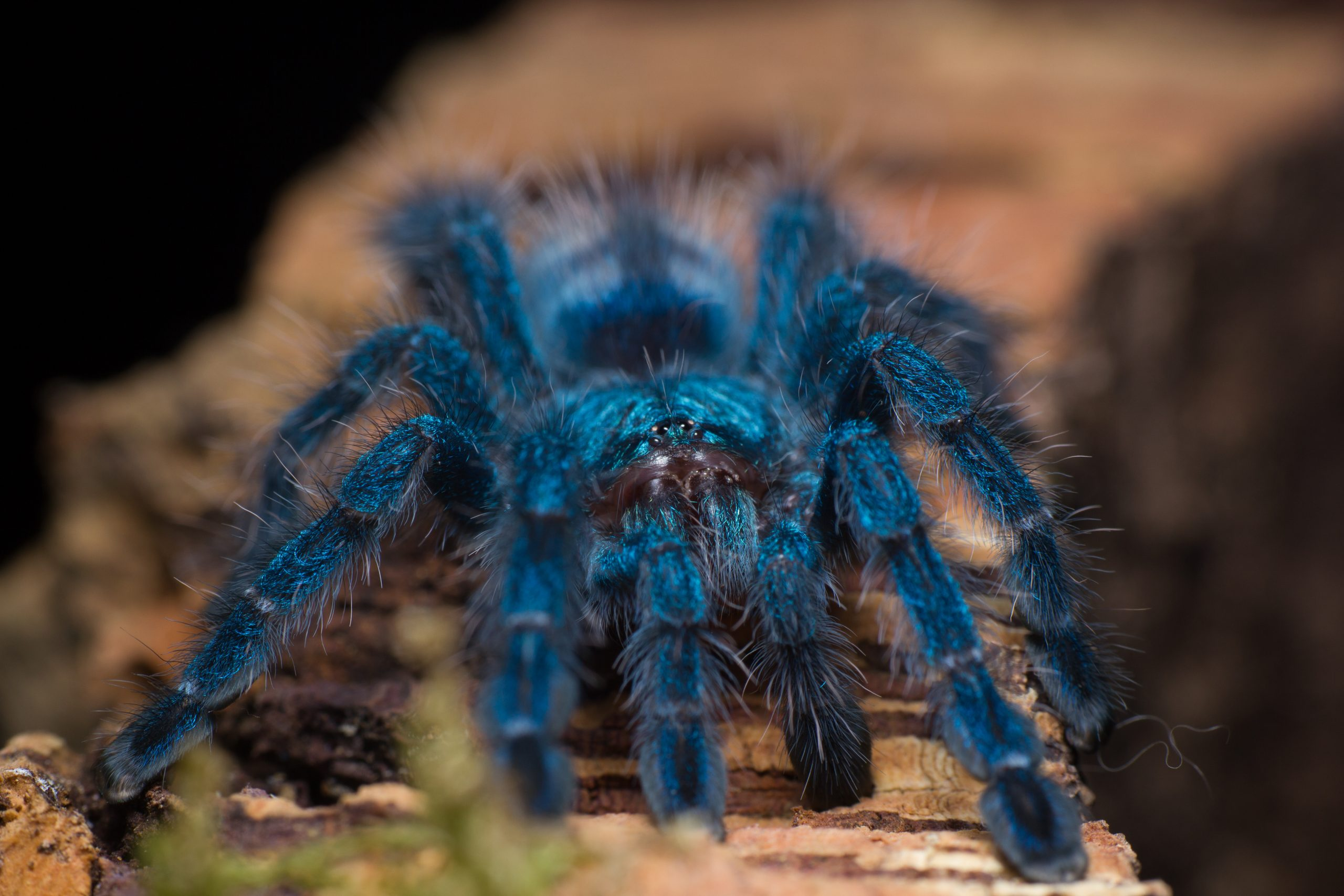 Dr Vinod Kumar and Dr Saoirse Foley discover why tarantulas come in vivid blues and greens